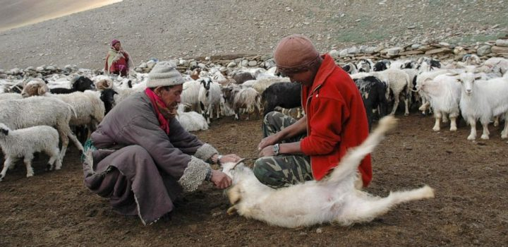 India-China Himalayan standoff deadly for cashmere herds