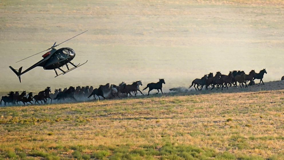 Wild horse roundups ramping up as drought grips the US West